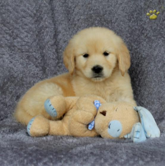 Zena Golden Retriever Puppy For Sale In Ronks Pa Lancaster