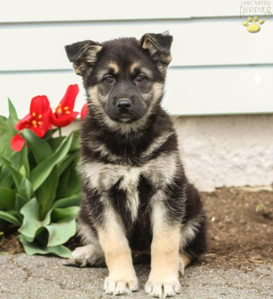 Rose German Shepherdhusky Puppy For Sale In Lancaster Pa