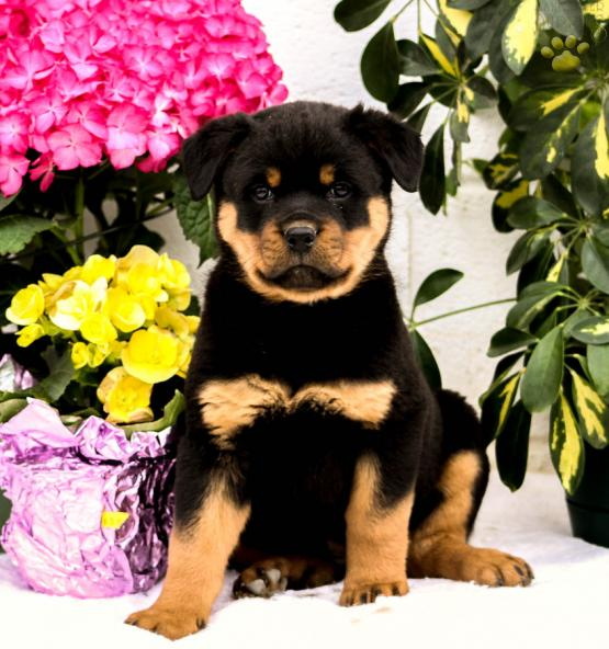 Roy Rottweiler Puppy For Sale In Quarryville Pa Lancaster