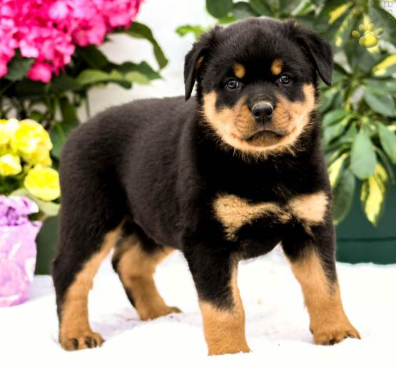 Ralph Rottweiler Puppy For Sale In Quarryville Pa Lancaster
