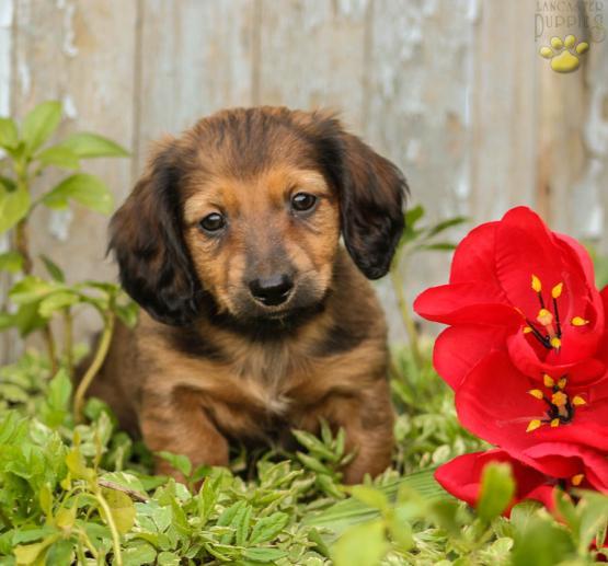 Duke Dachshund Puppy For Sale In Narvon Pa Lancaster Puppies