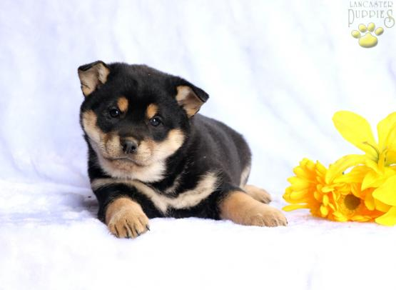 Felicity Shiba Inu Mix Puppy For