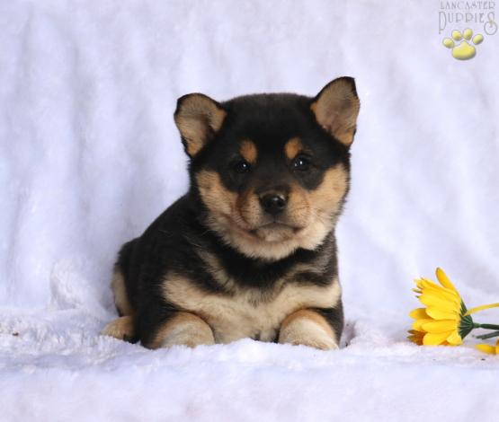 Flora Shiba Inu Mix Puppy For In