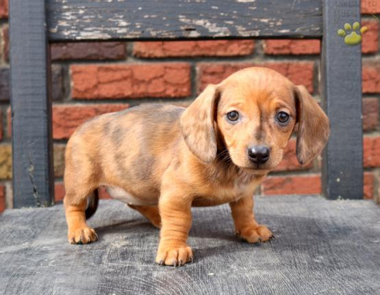 Brittany Dachshund Puppy For Sale In Ephrata Pa Lancaster