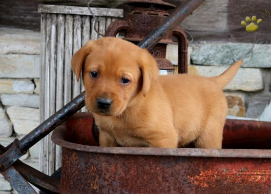 Peter Labrador Retriever Red Fox Puppy For Sale In Myerstown Pa