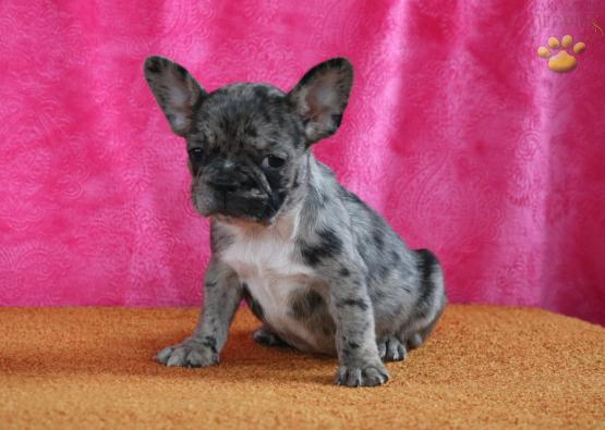 Mable French Bulldog Puppy For Sale In Holtwood Pa