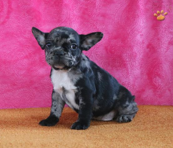 Bentley French Bulldog Puppy For Sale In Holtwood Pa Lancaster