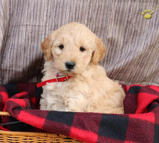 Milly Mini Goldendoodle Puppy For Sale In Lititz Pa