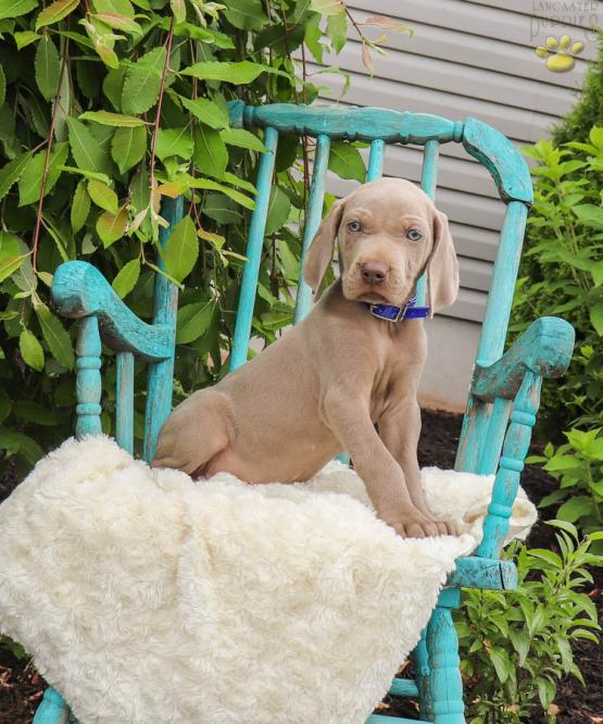 Saul Weimaraner Puppy For Sale In Ickesburg Pa Lancaster