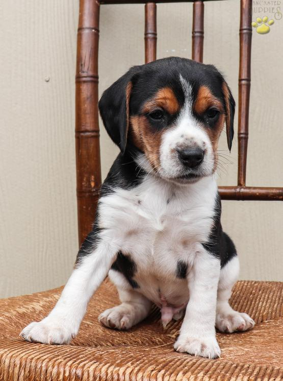 Rio Jack Russellbeagle Mix Puppy For Sale In Newport Pa