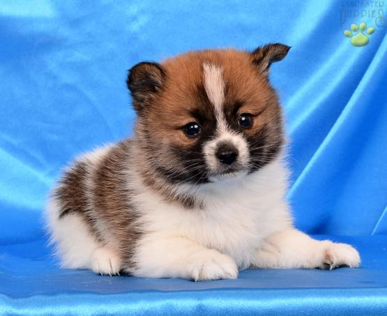 Pom Shi Puppies For