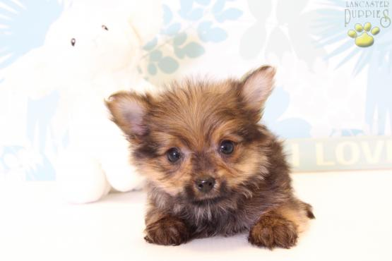 Cutie Yorkie Pom Puppy For Sale In Port Treverton Pa Lancaster