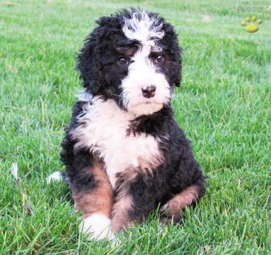 TULIP - Standard Tri-Color - Bernadoodle (Bernese/Poodle) Puppy for
