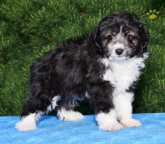 Tussler Mini Aussiedoodle Puppy For Sale In Millersburg Oh