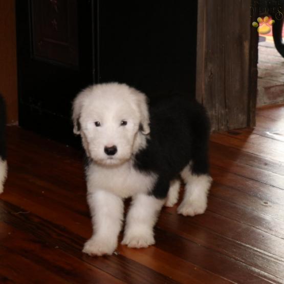 Wally - Old English Sheepdog Puppy for Sale in ligonier, PA