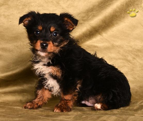 Willis - Morkie Puppy for Sale in Millersburg, OH