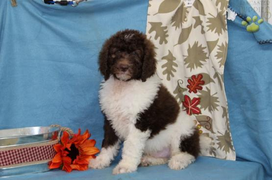 Snickers Poodles Standard Stud Services In Peach Bottom